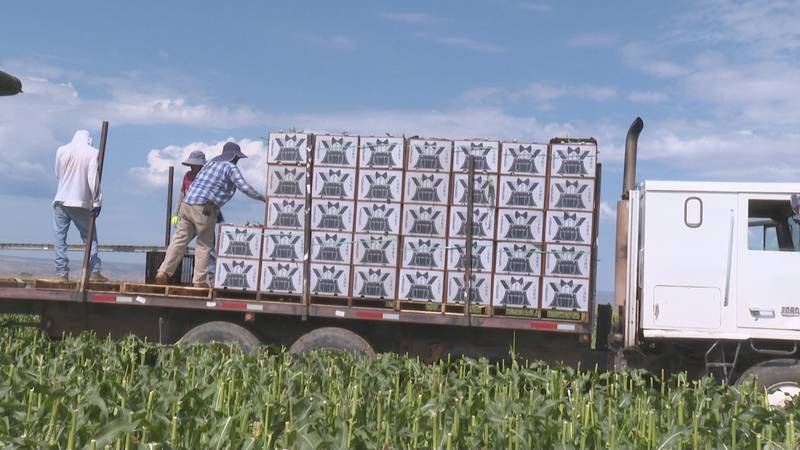 Sweet corn is being harvested and sent out to grocery stores across the nation.