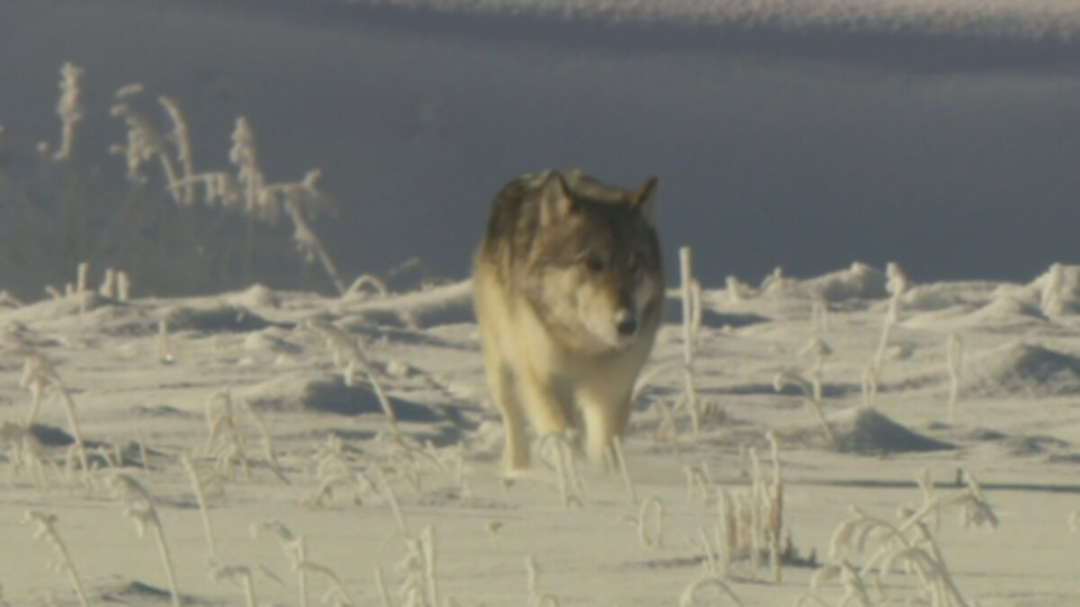Plan to reintroduce gray wolves back into Colorado