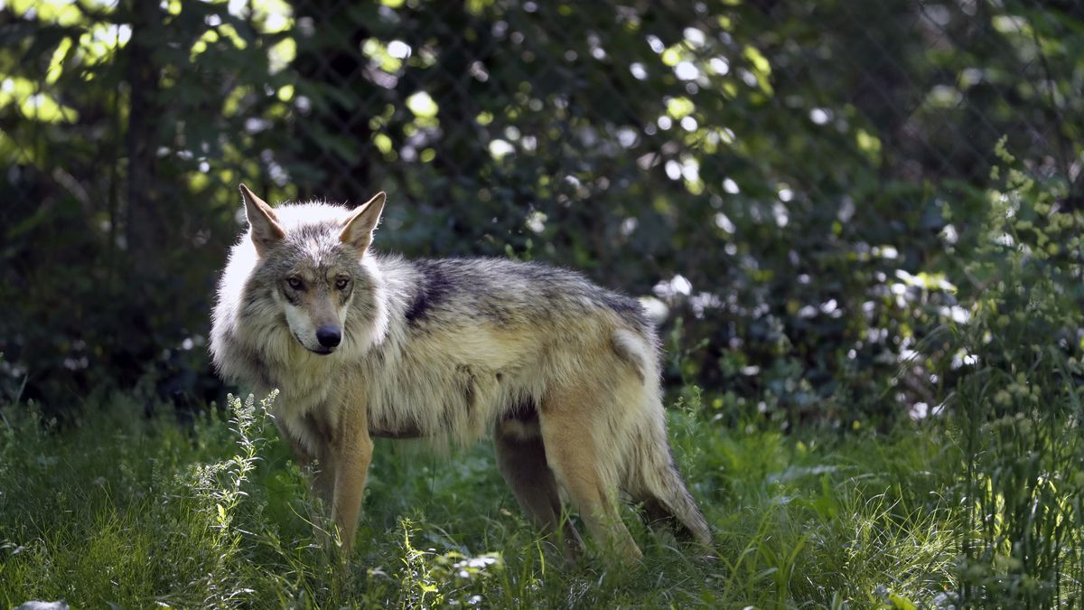 FILE - This May 20, 2019, file photo shows a Mexican gray wolf in Eurkea, Mo. Once on the verge...